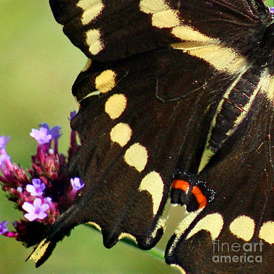 Photograph - Giant Swallowtail Butterfly Wings Square by Karen Adams