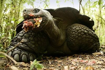 Santa Cruz Island Photograph - Giant Tortoise, Geochelone by David Santiago Garcia