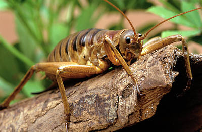 Maori Wall Art - Photograph - Giant Weta by Louise Murray/science Photo Library