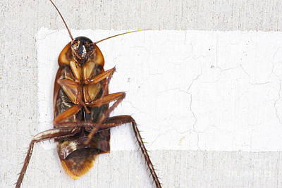 Cockroach Photograph - Gigantic Road Kill by Jorgo Photography - Wall Art Gallery