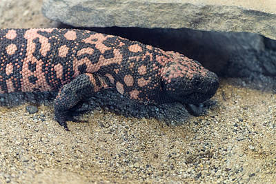 Photograph - Gila Monster by Mark Newman
