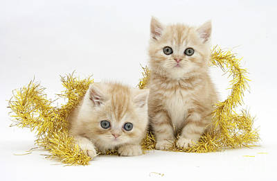 House Pet Photograph - Ginger Kittens by Mark Taylor