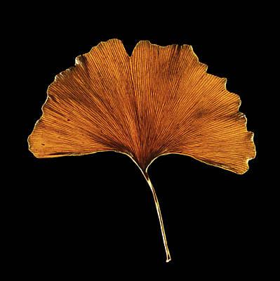 Living Fossils Photograph - Ginkgo Biloba Leaf by Gilles Mermet