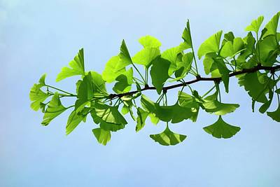 Living Fossils Photograph - Ginkgo Leaves by Cordelia Molloy
