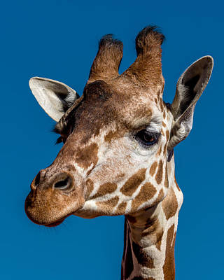 Giraffe Wall Art - Photograph - Giraffe by Ernie Echols