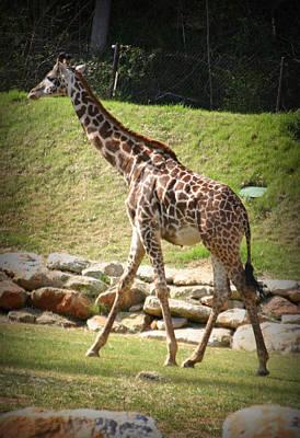 Photograph - Giraffe  by Kelly Hazel