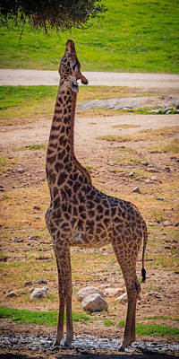 Photograph - Giraffe by Matthew Onheiber