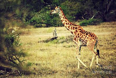 Giraffe Photograph - Giraffe On African Savanna by Michal Bednarek