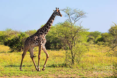 Photograph - Giraffe On Savanna. Safari In Serengeti by Michal Bednarek