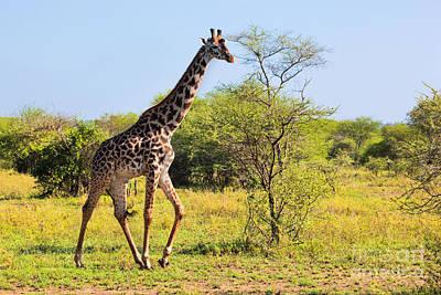 Giraffe Photograph - Giraffe On Savanna. Safari In Serengeti by Michal Bednarek