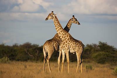 Photograph - Giraffes Nxai Pan Np Botswana by Theo Allofs