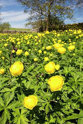 Spring Landscape Photograph - Globe Flowers by Ashley Cooper