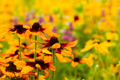 Photograph - Gloriosa Daisy Wildflowers by Ron Pate