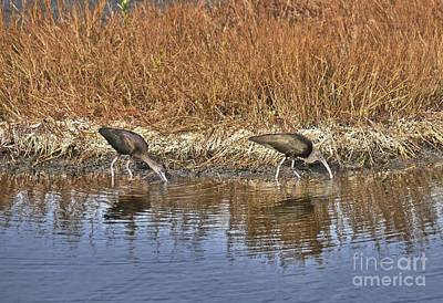 Photograph - Glossy Ibis by Carol  Bradley