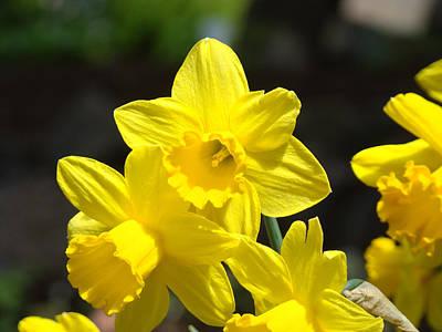 Glowing Yellow Daffodil Flowers Art Prints Spring Art Print