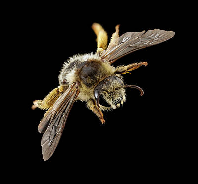 Bellflower Photograph - Gold-tailed Melitta Bee by Us Geological Survey