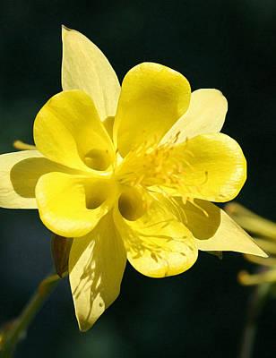 Photograph - Golden Columbine 1 by Ellen Henneke