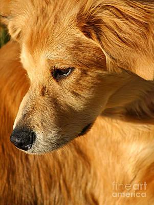 Golden Retriever Photograph - Golden by Darren Fisher