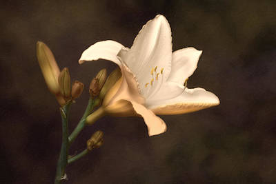 Stem Photograph - Golden Daylily by Tom Mc Nemar