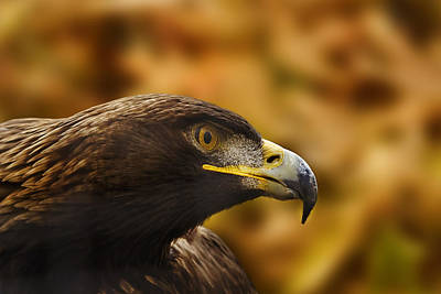 Print featuring the photograph Golden Eagle  by Brian Cross