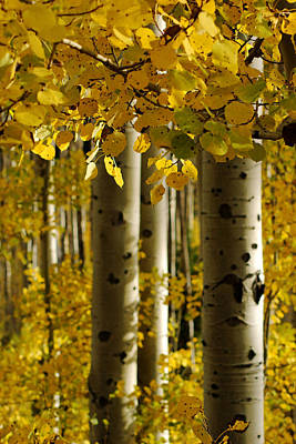 Photograph - Golden Forest Of Aspen Trees No.3 by Daniel Woodrum