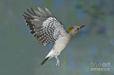 Golden-fronted Woodpecker Art Print