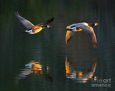 Golden Geese Print by Flying Turkey