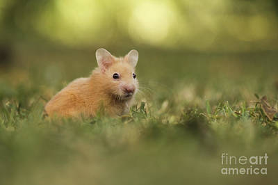 Syrian Hamster Photograph - Golden Hamster by Alon Meir