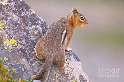 Squirrel Photograph - Golden-mantled Ground Squirrel by Art Wolfe