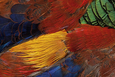 Pheasant Photograph - Golden Pheasant Feather Fan Design by Darrell Gulin