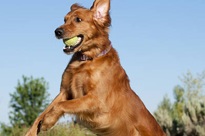 Dog Playing Ball Photograph - Golden Retriever Catching Tennis Ball by William H. Mullins