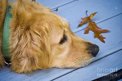 House Pet Photograph - Golden Retriever by Eunice Harris