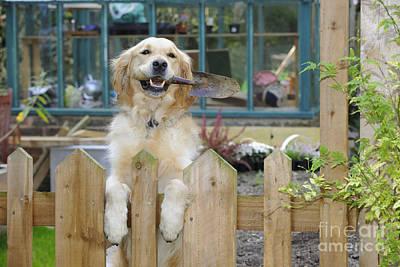 Photograph - Golden Retriever Gardening by John Daniels