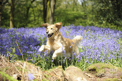 Golden Retriever In Bluebells Art Print by John Daniels