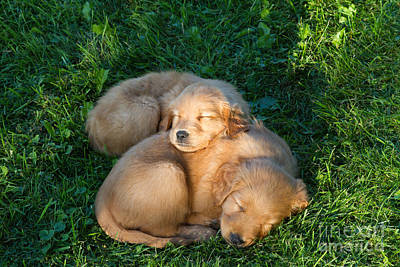 Golden Retriever Puppies Sleeping Art Print by Linda Freshwaters Arndt