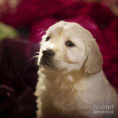Beaches And Waves Rights Managed Images - Golden retriever puppy Royalty-Free Image by Angel Ciesniarska