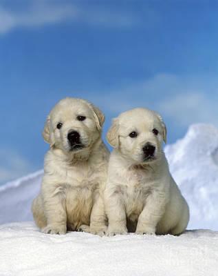 Dog In Snow Photograph - Golden Retriever Puppy Dogs by Jean-Michel Labat