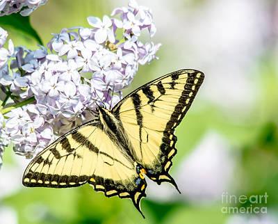 Photograph - Golden Swallowtail by Cheryl Baxter