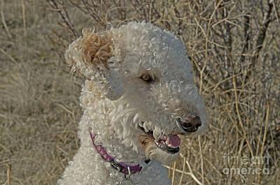 Designer Dog Photograph - Goldendoodle by William H. Mullins