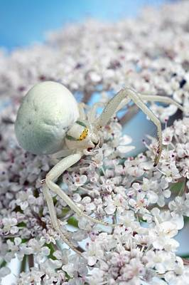 Goldenrod Crab Spider Art Print by Alex Hyde