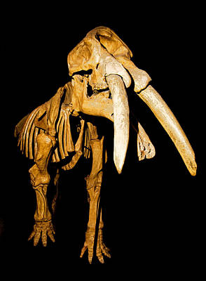 Photograph - Gomphotherium Fossil by Millard H. Sharp