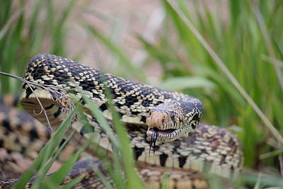Photograph - Gopher Snake by Trent Mallett