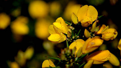 Photograph - Gorse by Barbara Walsh