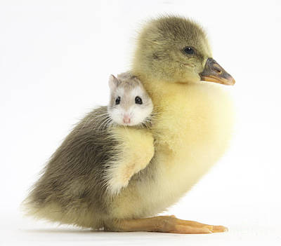 House Pet Photograph - Gosling And Roborovski Hamster by Mark Taylor