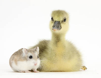 House Pet Photograph - Gosling With Roborovski Hamster by Mark Taylor