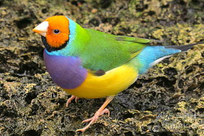 Photograph - Gouldian Finch by Frank Townsley