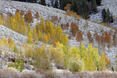Grand Teton National Park, Autumn Aspen Art Print