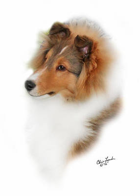 Sable Sheltie Photograph - Granite Gables Cruise Control by Chris Lynch