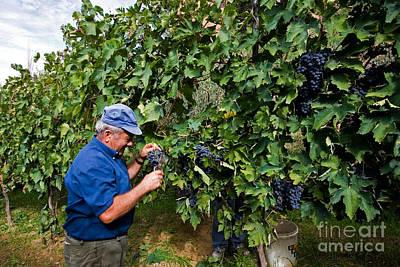 Grape Harvest, Italy Art Print