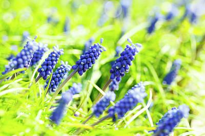 Grape Hyacinth Flowers Art Print by Wladimir Bulgar